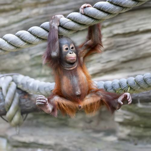 Sumatra Orangoutans & Lac Toba